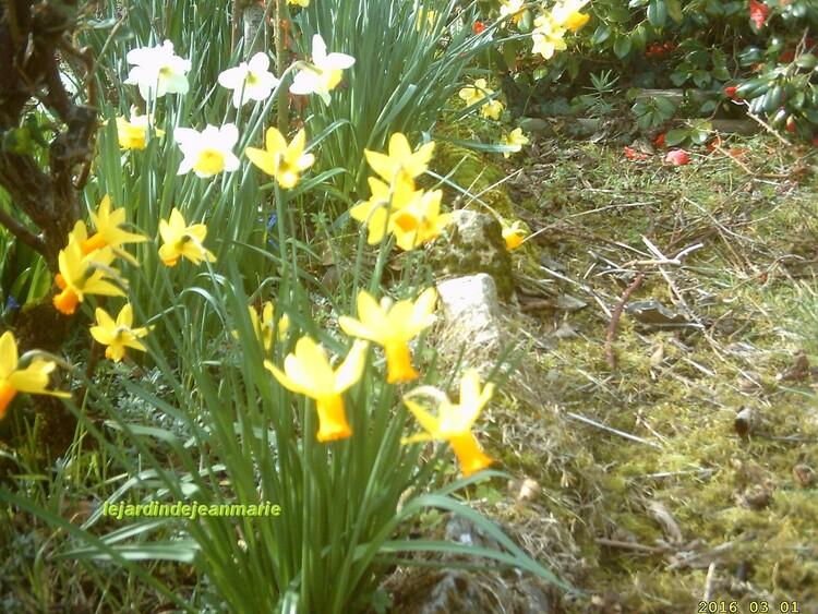 Traitement des rosiers aprés la taille,vu de mon jardin ,camèlia,narcisses,un air de printemps