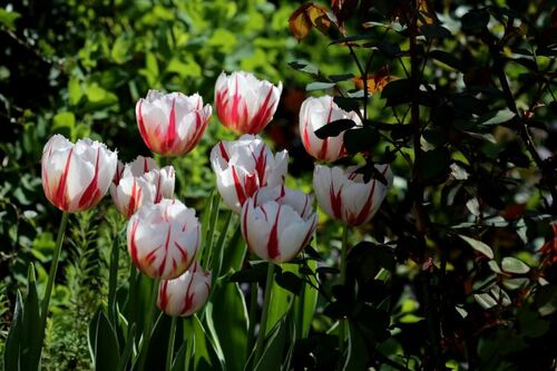 Tulipes 2018 : Happy Generation