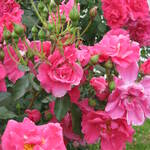 rose Gîte de France de Meilland 1995