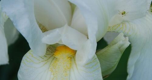 locataire de l'iris