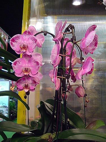 Orchidées 018