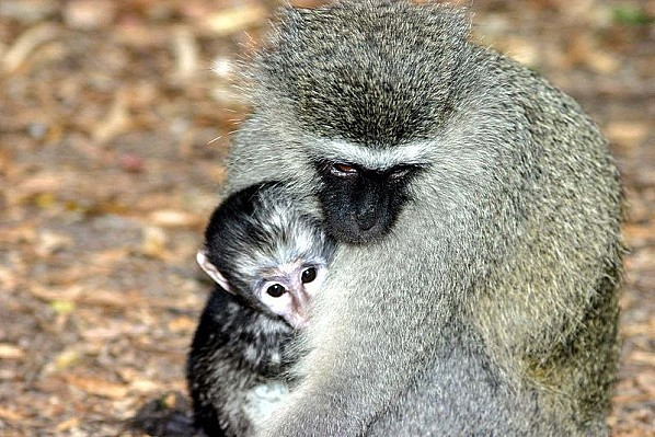 800px-Vervet monkey and baby