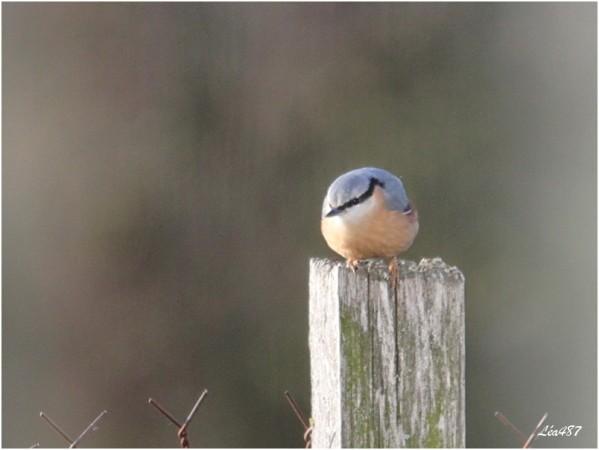 Oiseaux-3-3597-Sitelle.jpg