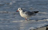 Mouette rieuse - p364