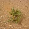 Mauritanie Plante du désert sur sol avec coquillages