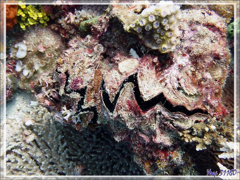 Huître zig-zag ou crête de coq, Zig-zag clam, Cock's comb oyster (Lopha cristagalli) - Beangovo - Tsarabanjina - Mitsio - Madagascar