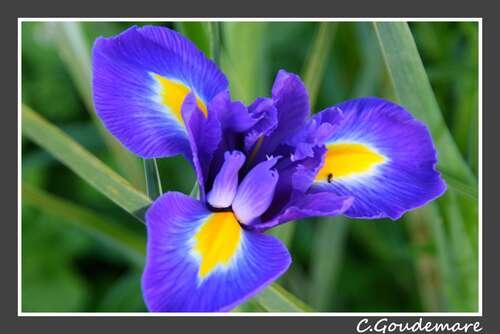 Iris # 2