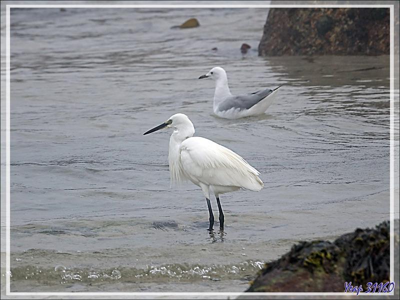 Aigrette des récifs forme blanche et mouette de Hartlaub - Camps Bay - Cape Town - Afrique du Sud