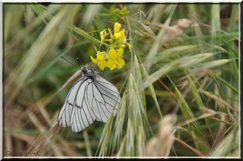 Papillon ( le Gazé - Aporia crataegi )