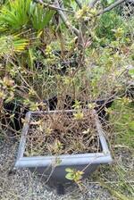 rhododendron 'boskoop ostara'