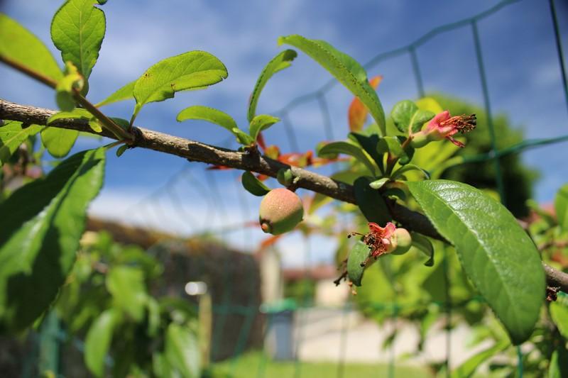 Les fruits du cognassier du Japon