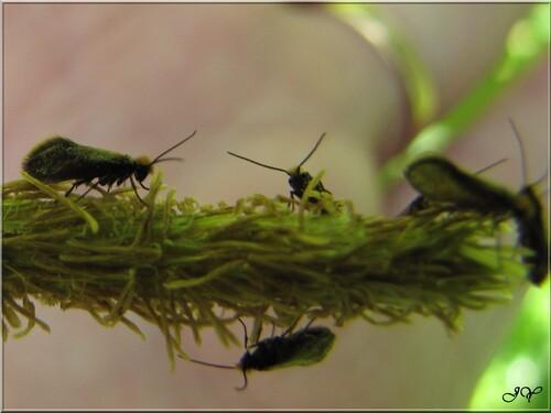 Micropteris calthella.