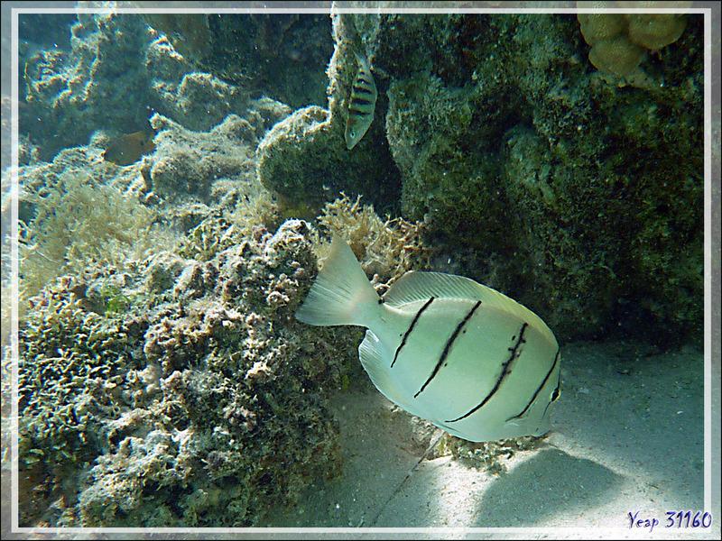 Chirurgien bagnard ou à bandes noires ou zèbre, Convict or fiveband surgeonfish (Acanthurus triostegus) - Moorea - Polynésie française