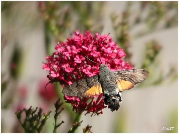 Papillons-1249-moro-sphinx.jpg