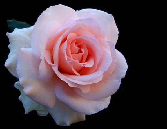 Roses, de toutes les couleurs