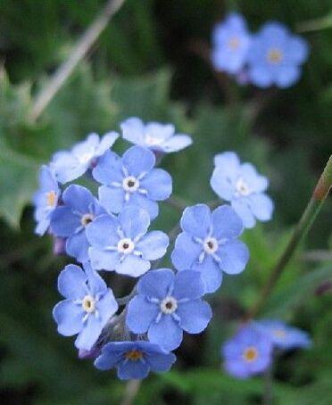 Coloriage Fleur Myosotis.Ne M Oubliez Pas Le Myosotis Cheznous62