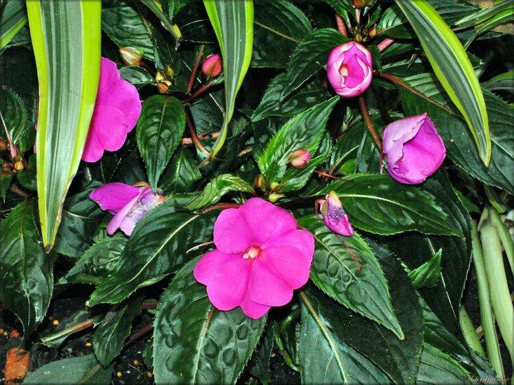Photo de fleurs d'impatiens (parc floral)