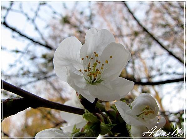 Cerisier-03-2012-d.jpg
