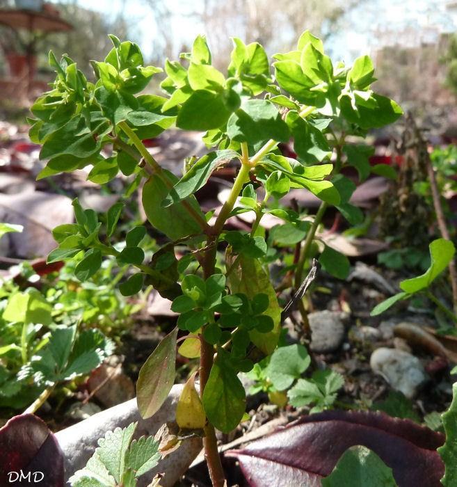 euphorbia peplus euphorbe des jardins herbierdeschamps. Black Bedroom Furniture Sets. Home Design Ideas