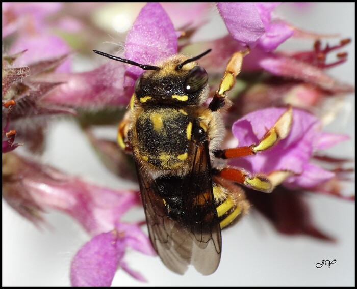 Anthidium  Août 2019.