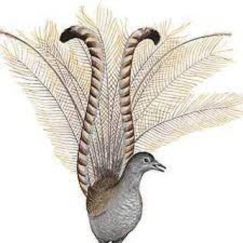 OISEAU-LYRE. Superb Lyrebird imitating construction work. (Documentaires exceptionnels)