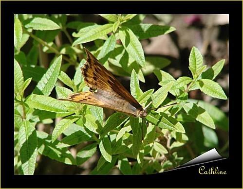 papillon-a-identifier.jpg