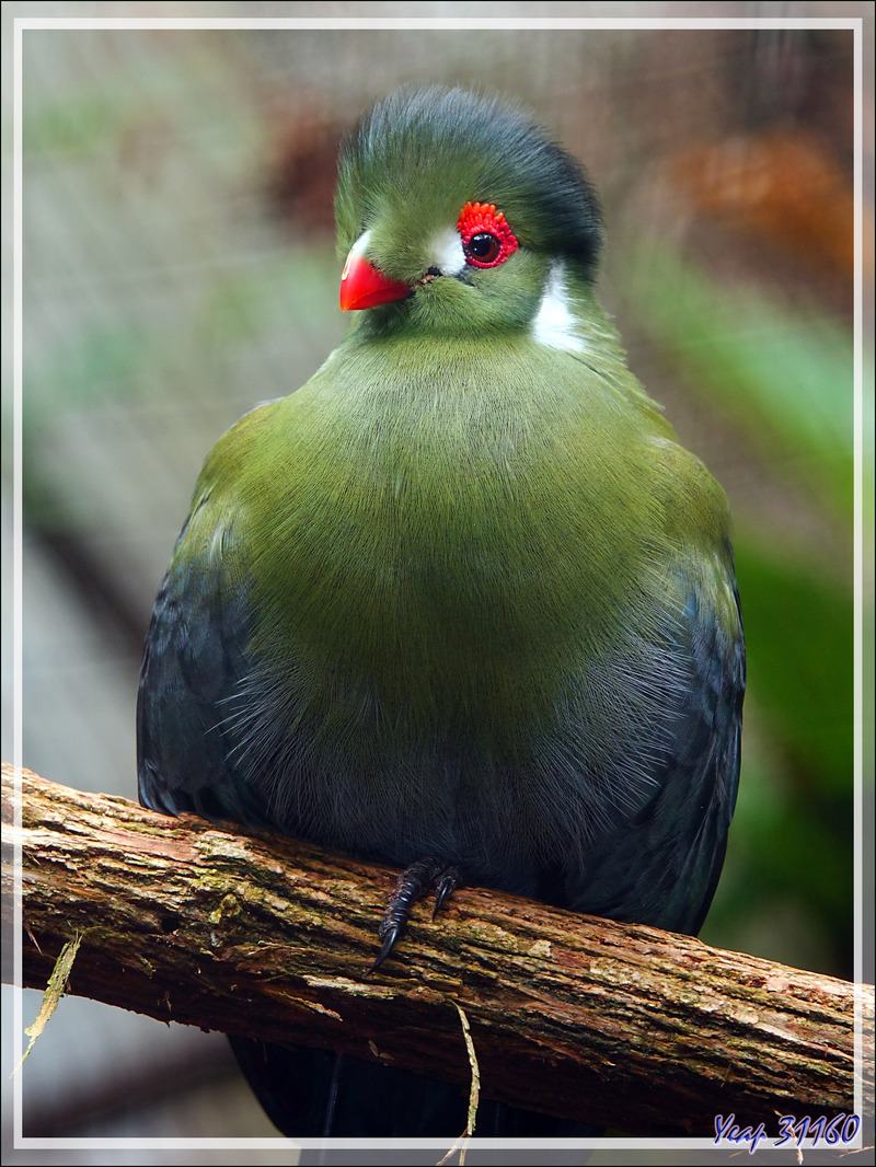 Touraco à joues blanches, White-cheeked turaco (Tauraco leucotis) - Oiseau non local (Soudan, Somalie)  - Parque das Aves - Foz do Iguaçu - Brésil