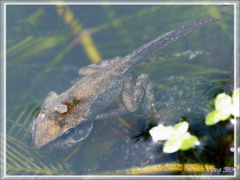 Le paradis des bébés grenouilles rousses : mon bassin sans poisson  - Lartigau - Milhas - 31