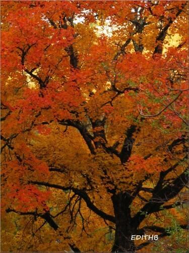 arbre couleurs d'automne (3)