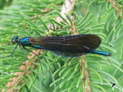 Caloptéryx vierge (Calopteryx virgo)   première de l'année 2019