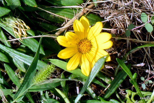 Le jaune des fleurs du gazania