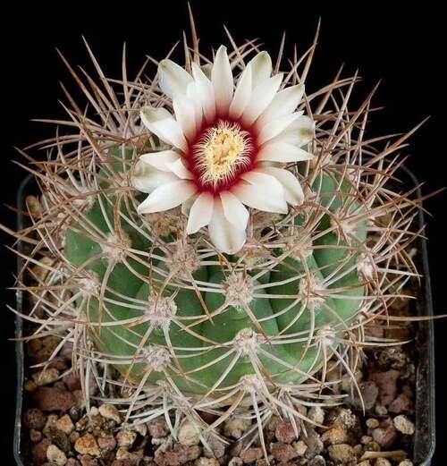 Fleurs cultivées : Gymnocalycium