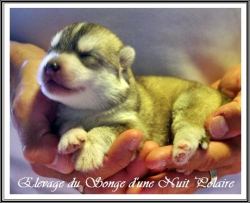 Chiot Husky Femelle 3 (5j)