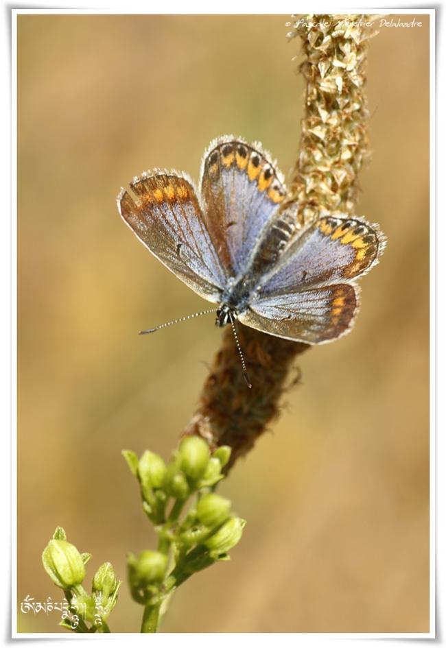 Petit argus - Plebejus argus - Lycaenidae