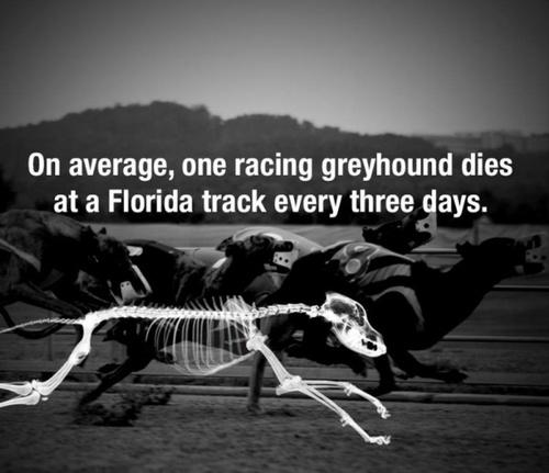 Greyhound, un massacre encore trop ignoré et pourtant...la race la plus torturée au monde