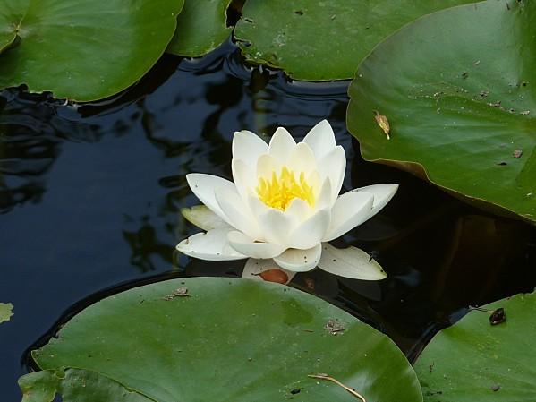 Jour 24 Butchart Gardens nénuphar fleur