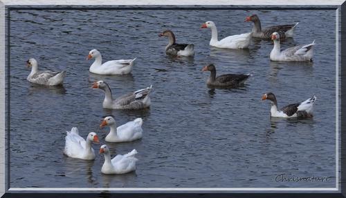 Rassemblement d'oies blanches et cendrées sur les bords de Loire