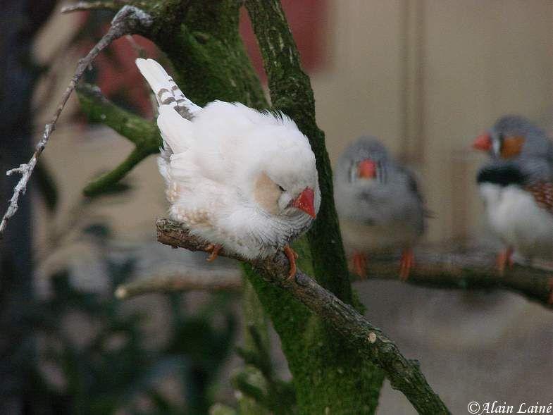 Oiseaux_exotiques_10Janv09_6
