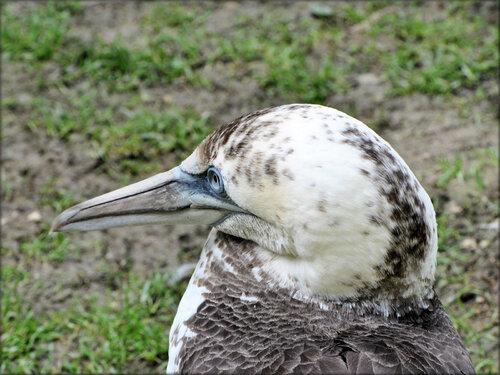 Photo de Fou de Bassan - Marais aux Oiseaux