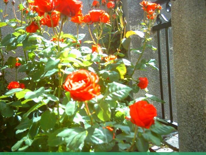 mes rosiers,pourquoi sont ils si beaux chaque annèe(traitement,engrais,entretien)