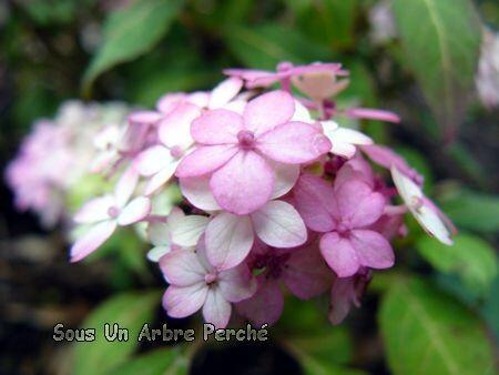 Belladonna (H. serrata)