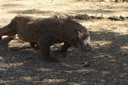 17 au 19 mai: A la recherche du dragon de Komodo