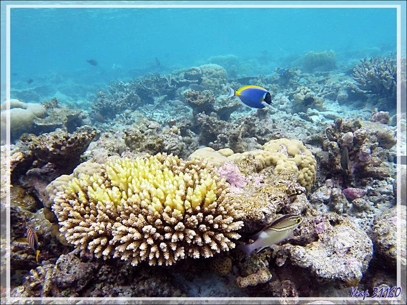 Snorkeling : Chirurgien à poitrine blanche, Chirurgien poudré, Powderblue surgeonfish (Acanthurus leucosternon) - Moofushi - Atoll d'Ari - Maldives