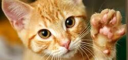 Les griffures de chat