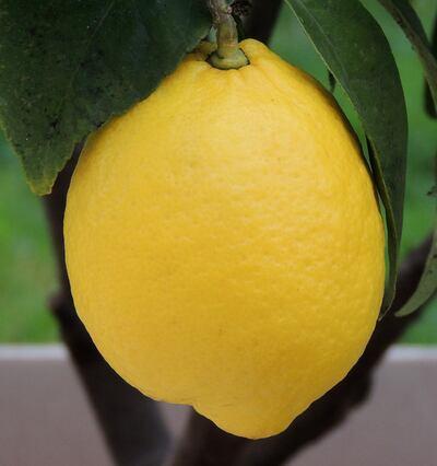 Le citronnier sort de la torpeur de l'hiver