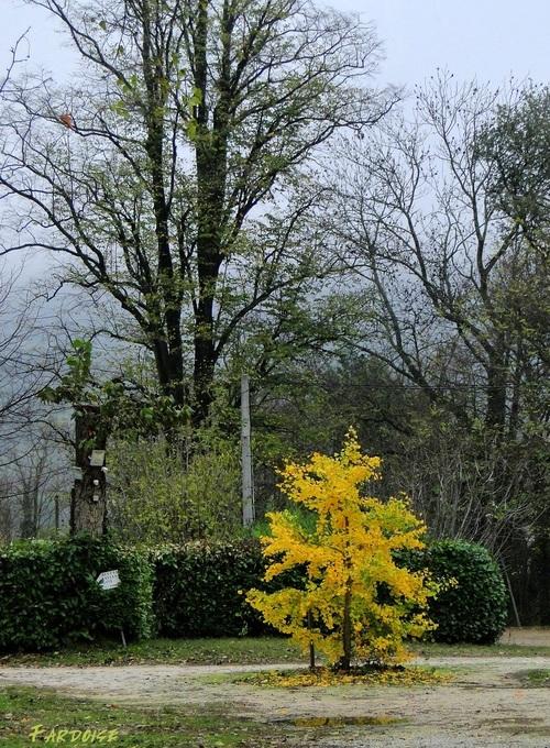 Le ginkgo : l'or de l'automne