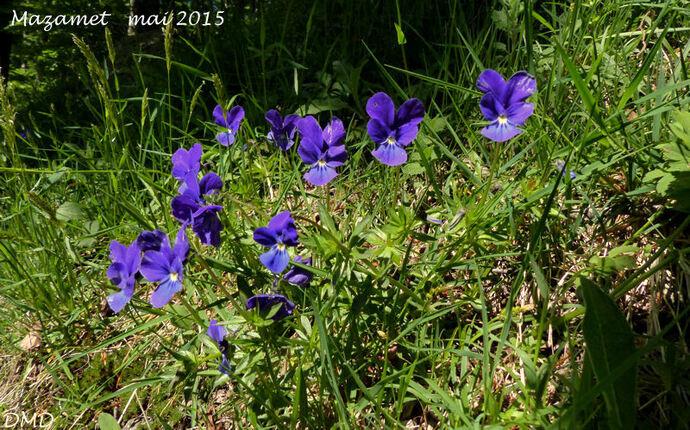 Viola bubanii - pensée de Bubani