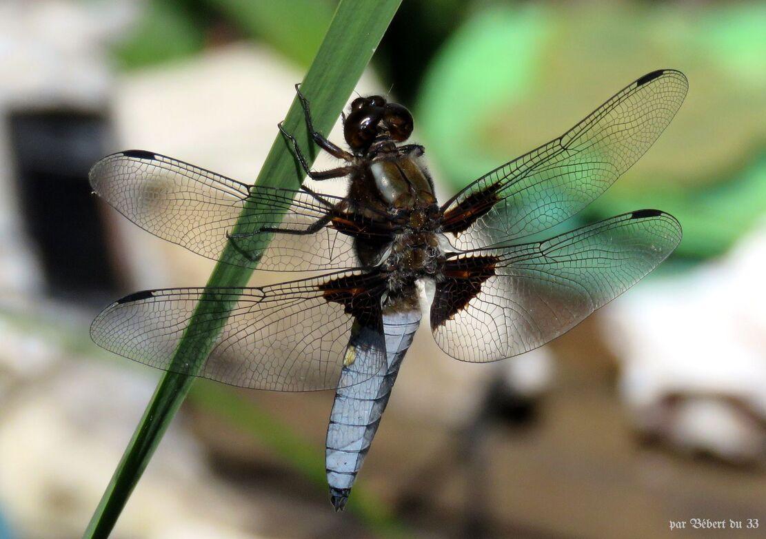 ma 1 ère libellule sur mon bassin
