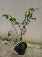 cercis siliquastrum (ou arbre de judée)