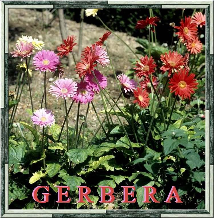 Fleurs cultivées : Gerbera